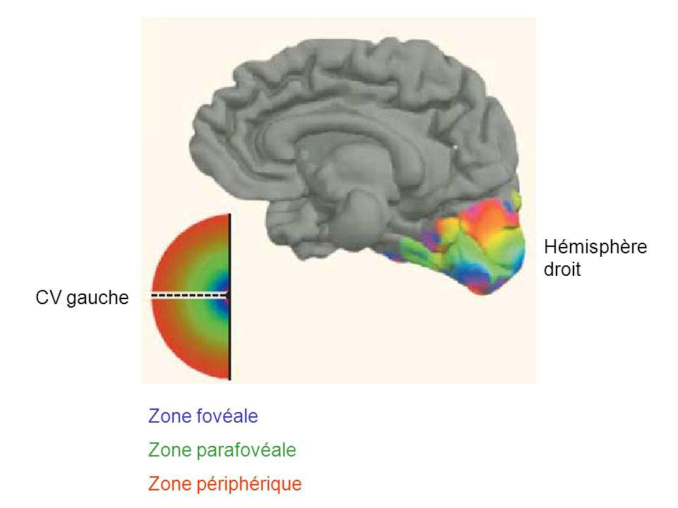 CV gauche Hémisphère droit Zone fovéale Zone parafovéale Zone périphérique