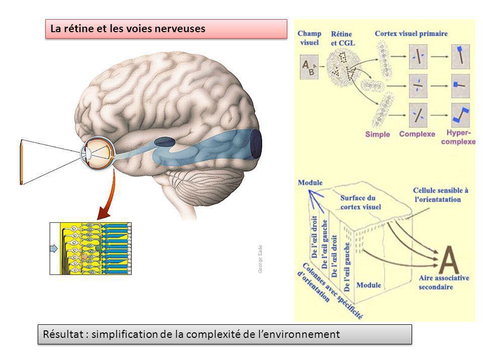 La rétine et les voies nerveuses Résultat : simplification de la complexité de lenvironnement