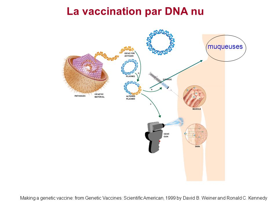 Making a genetic vaccine: from Genetic Vaccines: Scientific American, 1999 by David B. Weiner and Ronald C. Kennedy La vaccination par DNA nu muqueuse