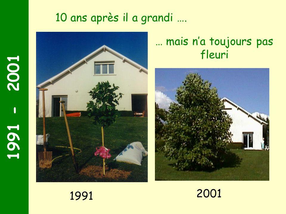 1991 - 2001 70 ans … un témoin : le tulipier