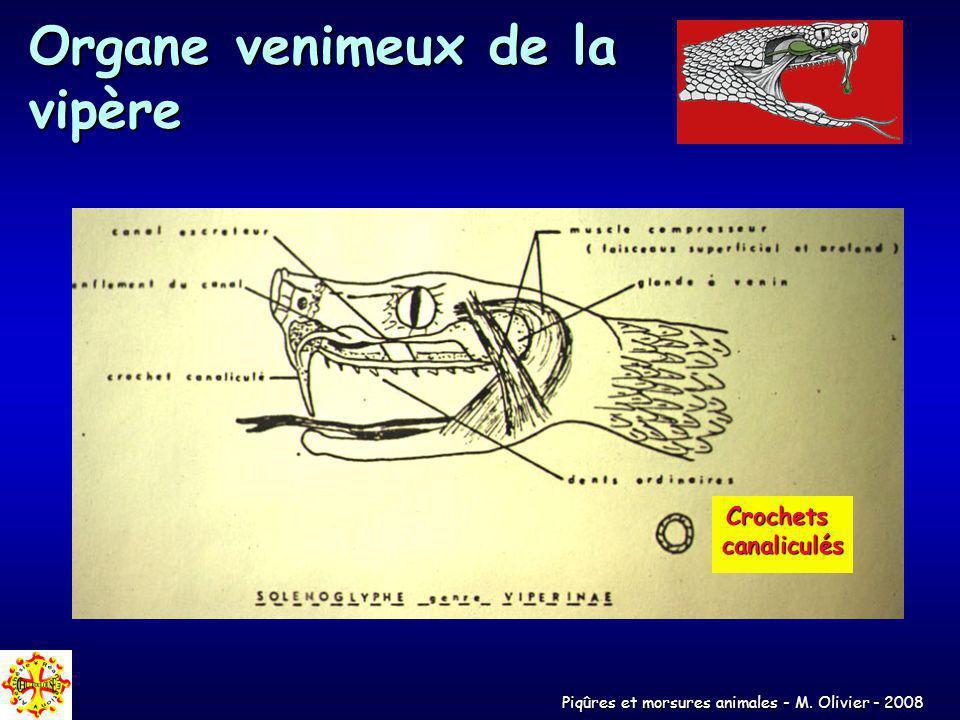 Piqûres et morsures animales - M. Olivier - 2008 Organe venimeux de la vipère Crochetscanaliculés