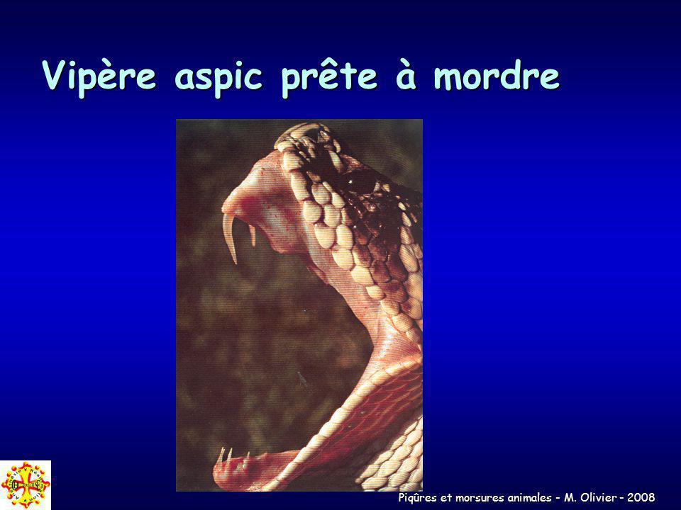 Piqûres et morsures animales - M. Olivier - 2008 Vipère aspic prête à mordre