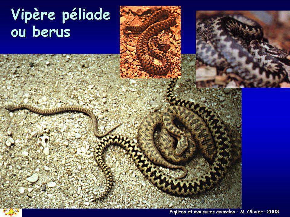 Piqûres et morsures animales - M. Olivier - 2008 Vipère péliade ou berus