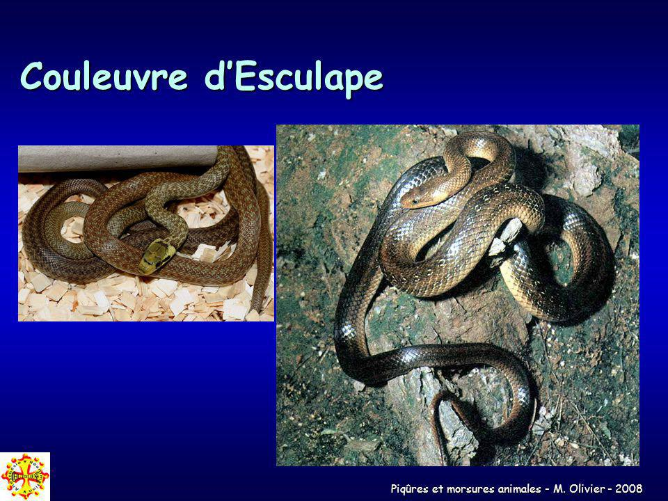 Piqûres et morsures animales - M. Olivier - 2008 Couleuvre dEsculape