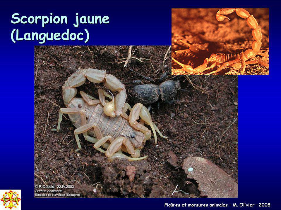 Piqûres et morsures animales - M. Olivier - 2008 Scorpion jaune (Languedoc)