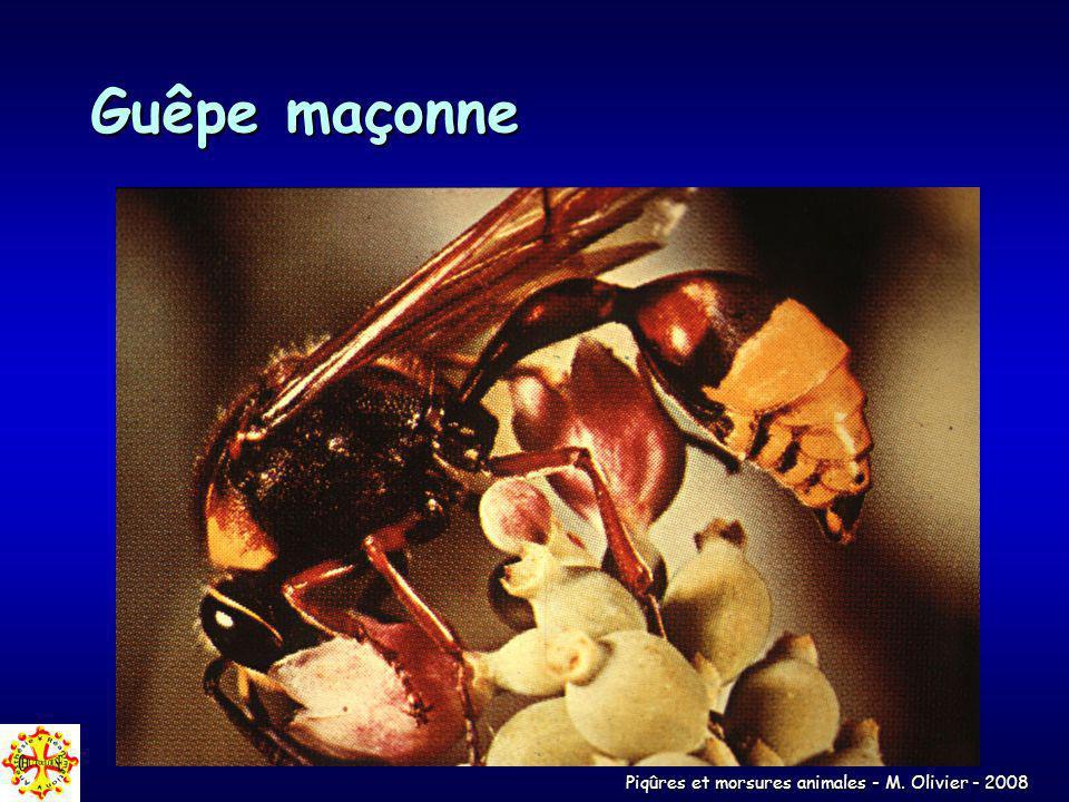 Piqûres et morsures animales - M. Olivier - 2008 Guêpe maçonne