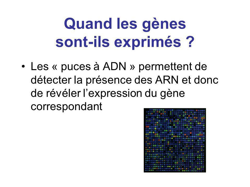 Quand les gènes sont-ils exprimés ? Les « puces à ADN » permettent de détecter la présence des ARN et donc de révéler lexpression du gène correspondan