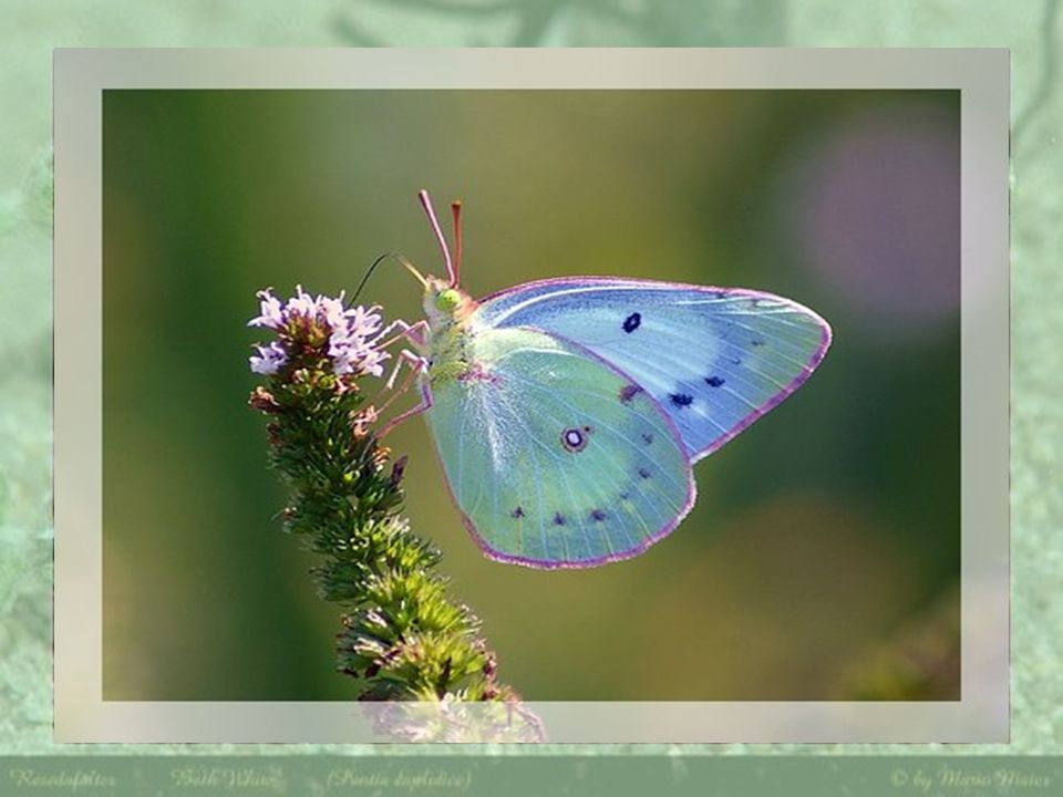 Magicienne de la nature, en font lextase de ces merveilleux papillons Que cette nature est généreuse avec eux et celles qui sen abreuvent, créant chez