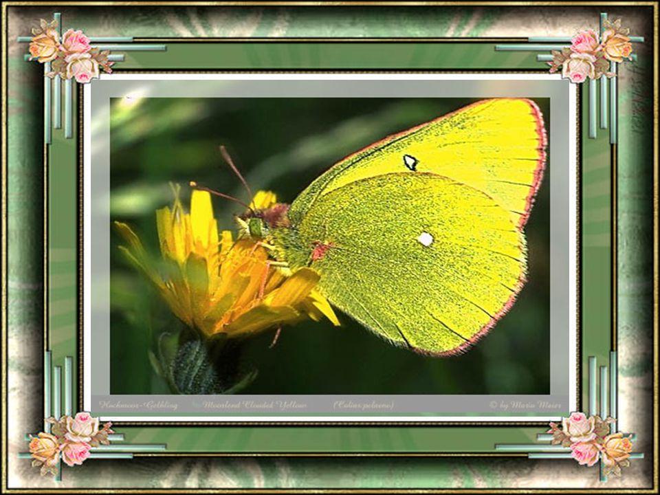 De fleurs en fleurs notre gentil papillon, profite de la chance dêtre beau et majestueux et de se contenter dexplorer toute La magie que la nature a l