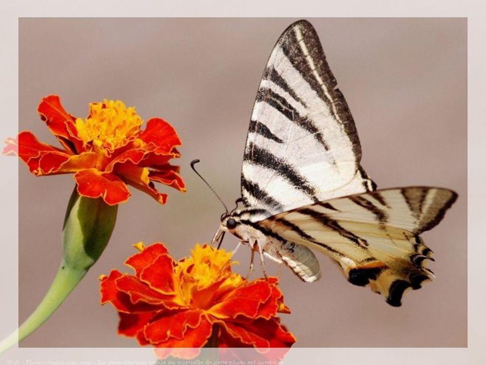 Le petit Papillon écrit par mon ami Jean-Pol http://www.Prince des étoiles.com http://www.Prince des étoiles.com