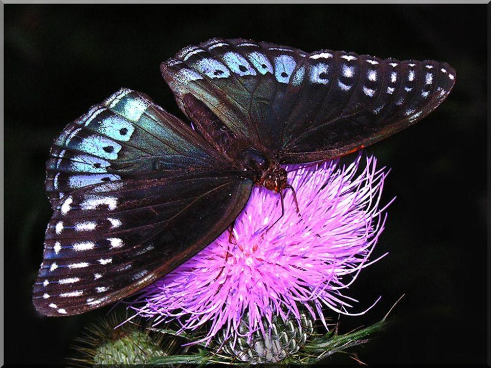 Le papillon virevoltant au dessus dun tapis de fleurs aux fragrances irrépressibles, Au milieu de ces fleurs magnifiques les corolles grandes ouvertes