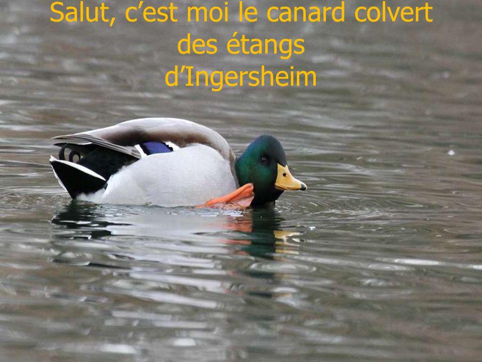 Salut, cest moi le canard colvert des étangs dIngersheim