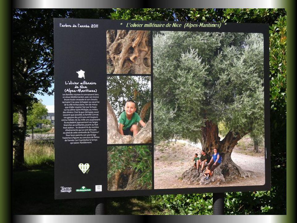 * Le Ficus refusa de Saint-Denis (La Réunion) *