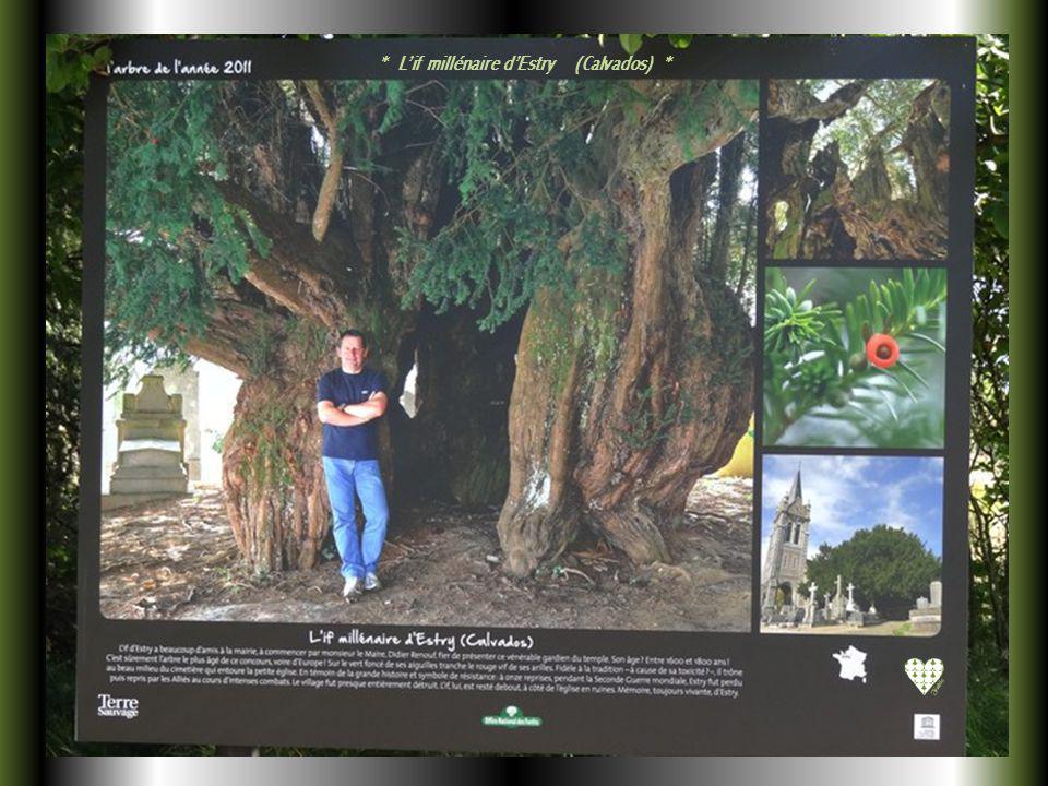 * Lérable dans le robinier faux-acacia de Liebsdorf (Haut-Rhin) *