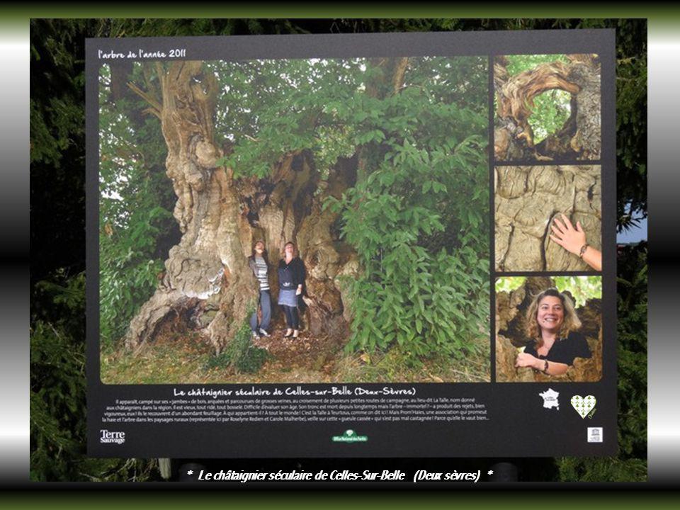 * Le prunus de Reims (Marne) *