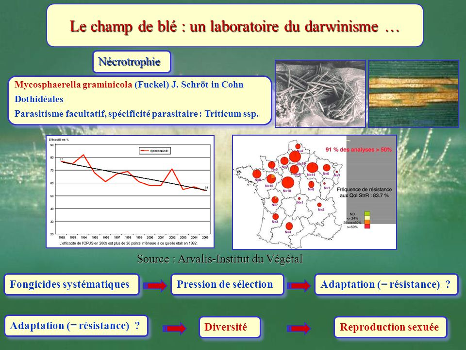 NécrotrophieNécrotrophie Mycosphaerella graminicola (Fuckel) J. Schröt in Cohn Dothidéales Parasitisme facultatif, spécificité parasitaire : Triticum