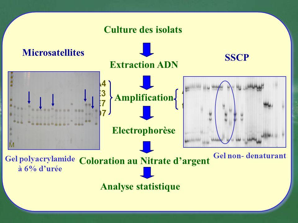 Culture des isolats Extraction ADN Analyse statistique Actine tubuline SSCP Amplification ST1A4 ST1E3 ST1E7 ST1D7 Microsatellites Coloration au Nitrat
