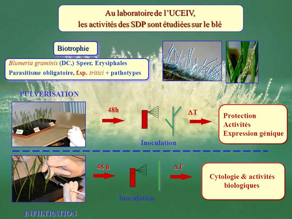 Au laboratoire de lUCEIV, les activités des SDP sont étudiées sur le blé BiotrophieBiotrophie 48 h Inoculation T Cytologie & activités biologiques PUL