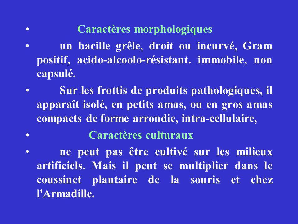 Caractères morphologiques un bacille grêle, droit ou incurvé, Gram positif, acido-alcoolo-résistant.
