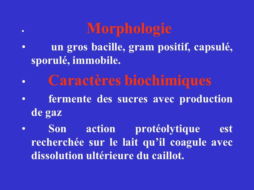 Morphologie un gros bacille, gram positif, capsulé, sporulé, immobile. Caractères biochimiques fermente des sucres avec production de gaz Son action p