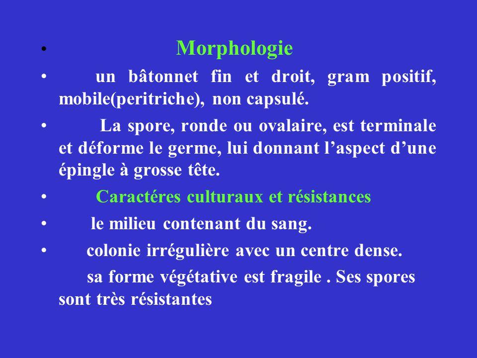Morphologie un bâtonnet fin et droit, gram positif, mobile(peritriche), non capsulé. La spore, ronde ou ovalaire, est terminale et déforme le germe, l