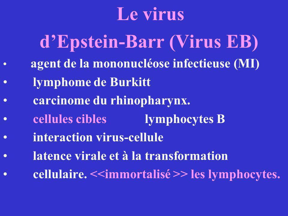 Le virus dEpstein-Barr (Virus EB) agent de la mononucléose infectieuse (MI) lymphome de Burkitt carcinome du rhinopharynx. cellules cibles lymphocytes