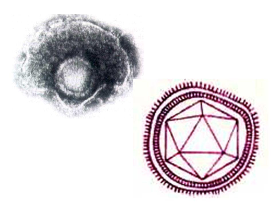 Les virus herpès simplexe(HSV) Morphologie et Structure virus 150-200nm sphériques, icosaédriques enveloppés, ADN bicaténaire acide nucléique deux segments liés de façon covalente.