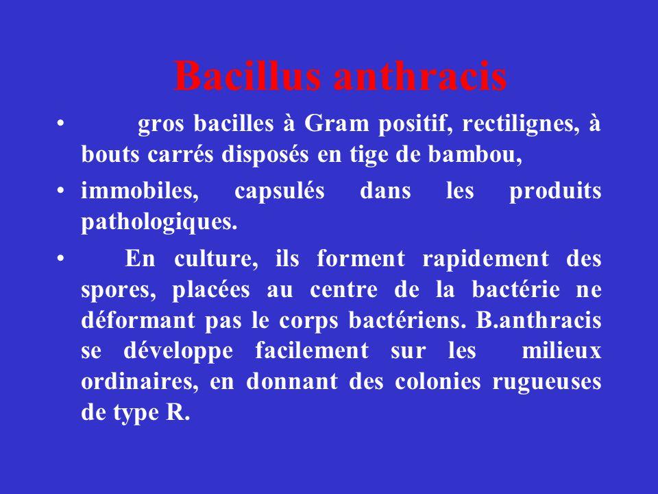 Bacillus anthracis gros bacilles à Gram positif, rectilignes, à bouts carrés disposés en tige de bambou, immobiles, capsulés dans les produits patholo