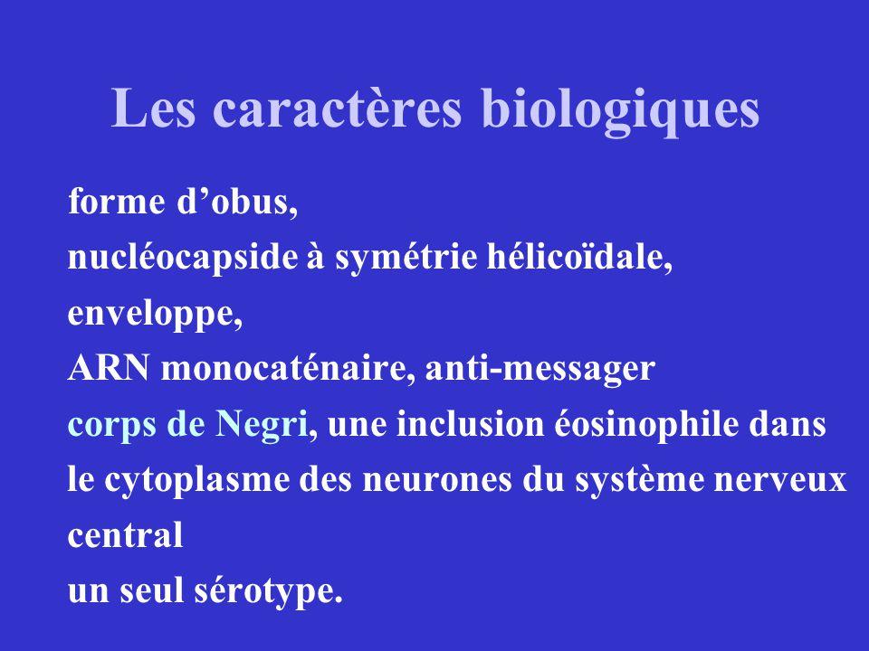 Les caractères biologiques forme dobus, nucléocapside à symétrie hélicoïdale, enveloppe, ARN monocaténaire, anti-messager corps de Negri, une inclusio