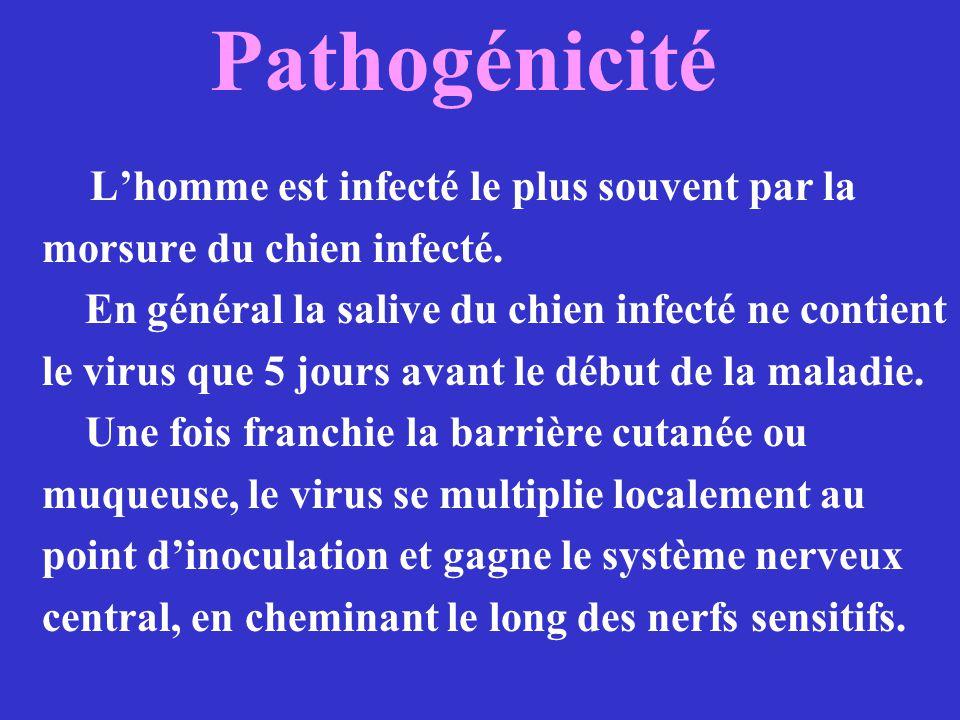 Pathogénicité Lhomme est infecté le plus souvent par la morsure du chien infecté. En général la salive du chien infecté ne contient le virus que 5 jou