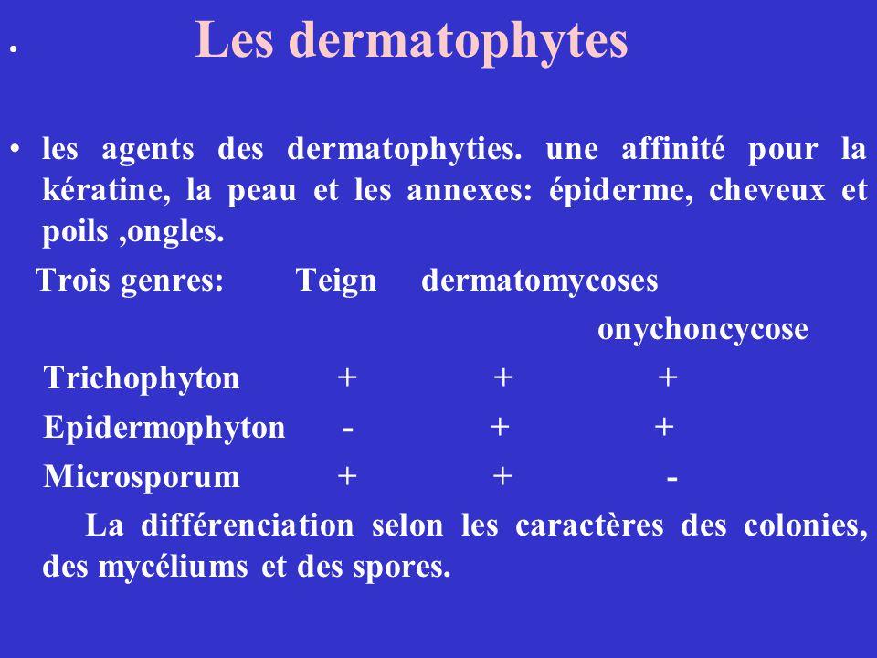 Les dermatophytes les agents des dermatophyties. une affinité pour la kératine, la peau et les annexes: épiderme, cheveux et poils,ongles. Trois genre