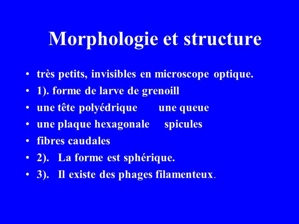 Morphologie et structure très petits, invisibles en microscope optique. 1). forme de larve de grenoill une tête polyédrique une queue une plaque hexag