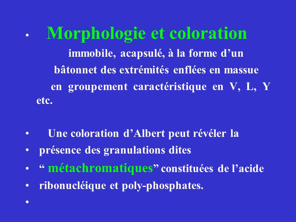 Morphologie et coloration immobile, acapsulé, à la forme dun bâtonnet des extrémités enflées en massue en groupement caractéristique en V, L, Y etc. U