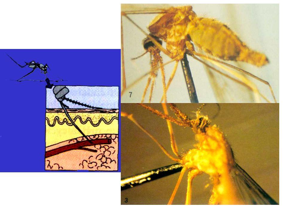Pathogénicité La plupart des maladies inapparentes.