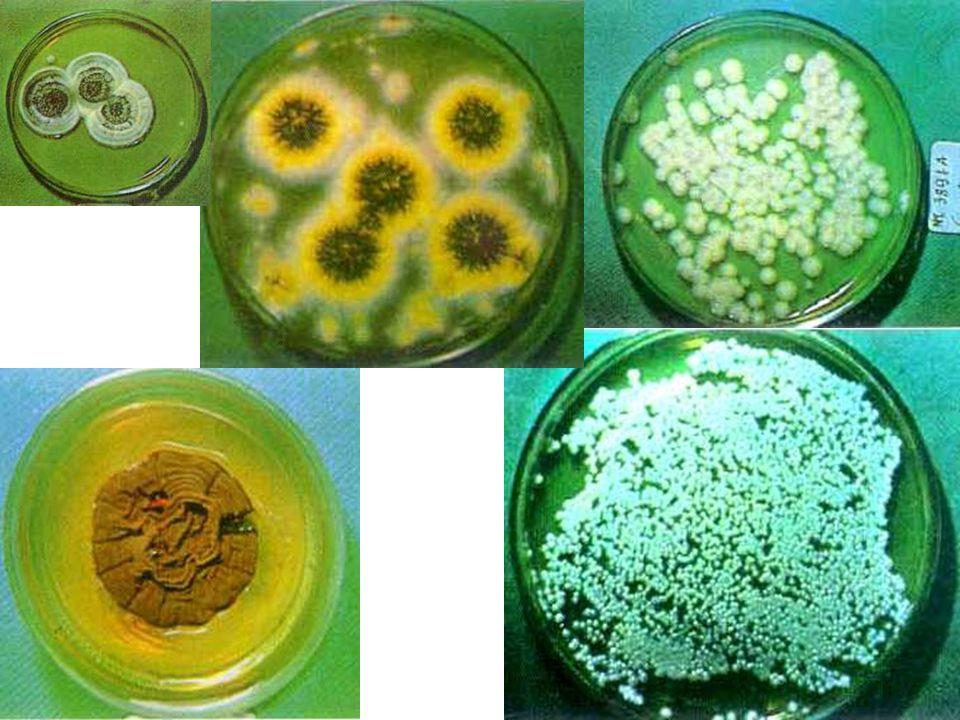 Résistance Les champignons résistent plus fortement à la dessiccation, à la lumière solaire, aux ultraviolets et aux désinfectants.