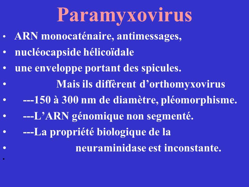 Paramyxovirus ARN monocaténaire, antimessages, nucléocapside hélicoïdale une enveloppe portant des spicules. Mais ils diffèrent dorthomyxovirus ---150