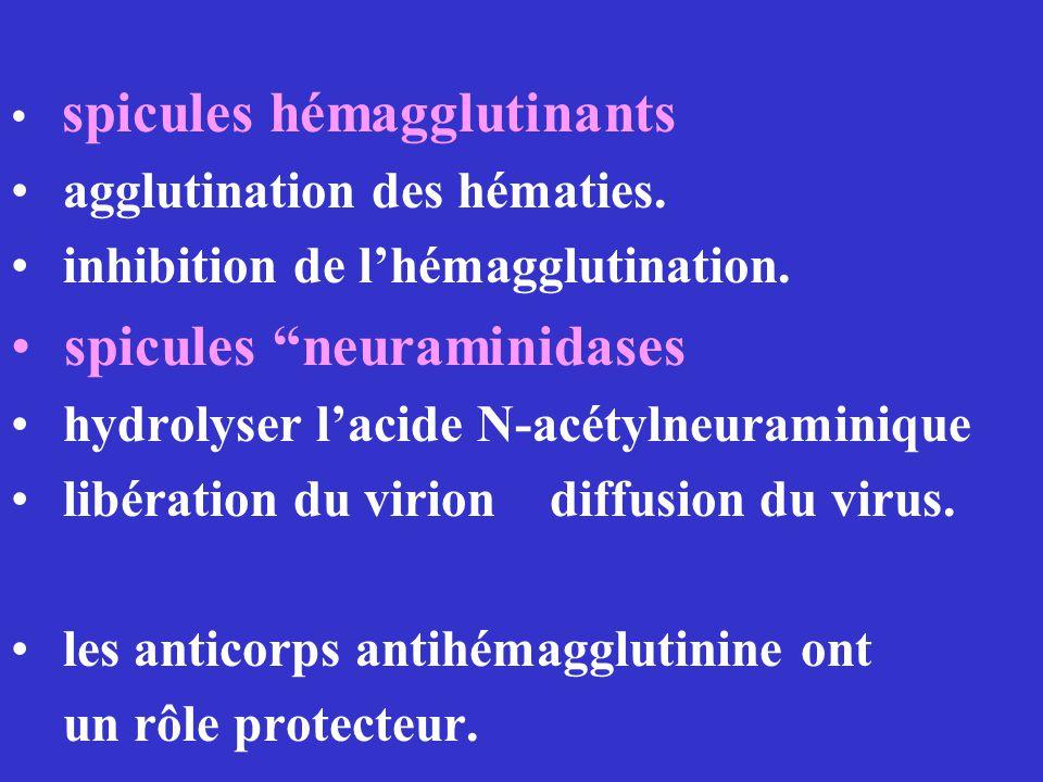 spicules hémagglutinants agglutination des hématies. inhibition de lhémagglutination. spicules neuraminidases hydrolyser lacide N-acétylneuraminique l