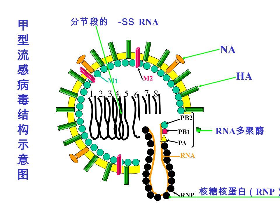 12435 6 7 8 PB2 PB1 RNP RNA M2 M1 NA HA -SS RNA RNP PA RNA
