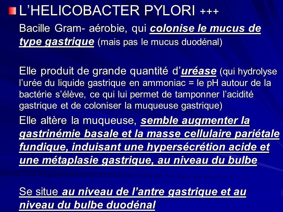LHELICOBACTER PYLORI +++ Bacille Gram- aérobie, qui colonise le mucus de type gastrique (mais pas le mucus duodénal) Elle produit de grande quantité d