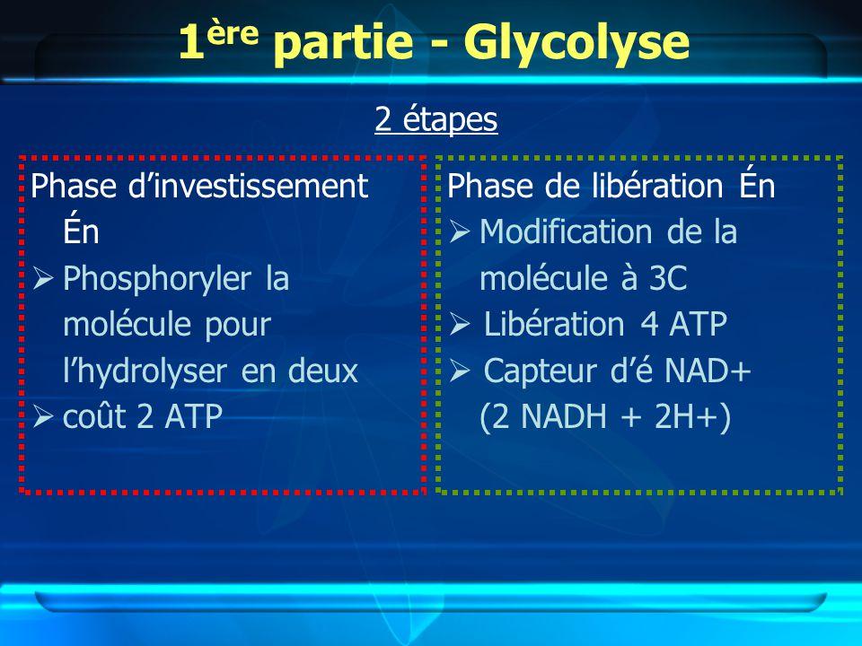 1 ère partie - Glycolyse Phase dinvestissement Én Phosphoryler la molécule pour lhydrolyser en deux coût 2 ATP Phase de libération Én Modification de la molécule à 3C Libération 4 ATP Capteur dé NAD+ (2 NADH + 2H+) 2 étapes