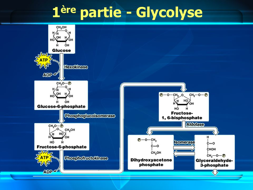 1 ère partie - Glycolyse