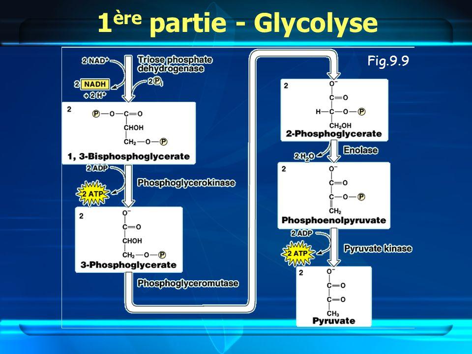 Fig.9.9 1 ère partie - Glycolyse
