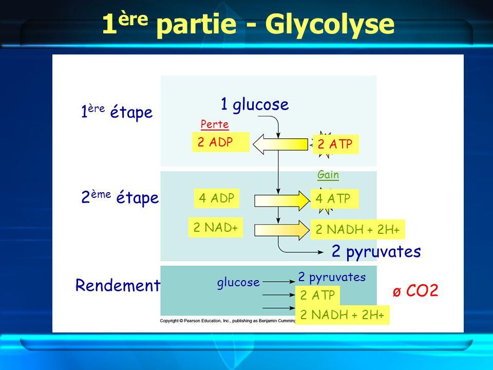 1 glucose 2 pyruvates 1 ère étape 2 ème étape 2 ADP 2 ATP 4 ATP 4 ADP 2 NAD+ 2 NADH + 2H+ glucose 2 pyruvates 2 ATP 2 NADH + 2H+ Rendement Perte Gain ø CO2
