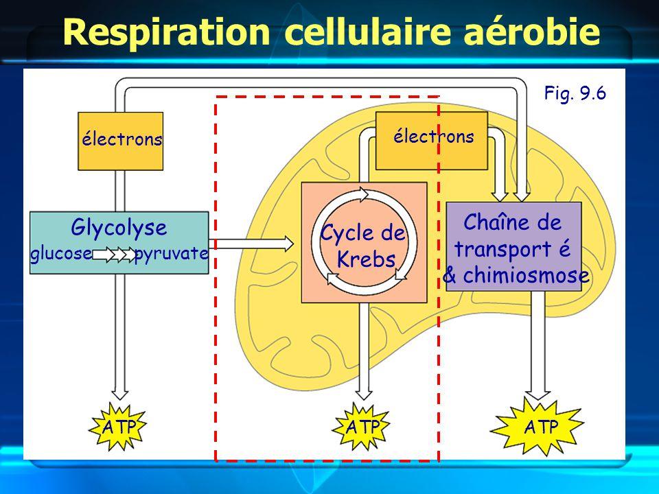 Glycolyse Cycle de Krebs Chaîne de transport é & chimiosmose Respiration cellulaire aérobie Fig.