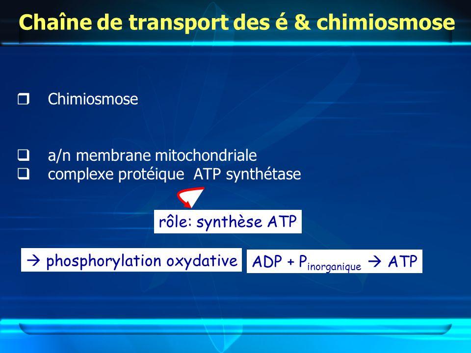 Chaîne de transport des é & chimiosmose Chimiosmose a/n membrane mitochondriale complexe protéique ATP synthétase rôle: synthèse ATP phosphorylation oxydative ADP + P inorganique ATP
