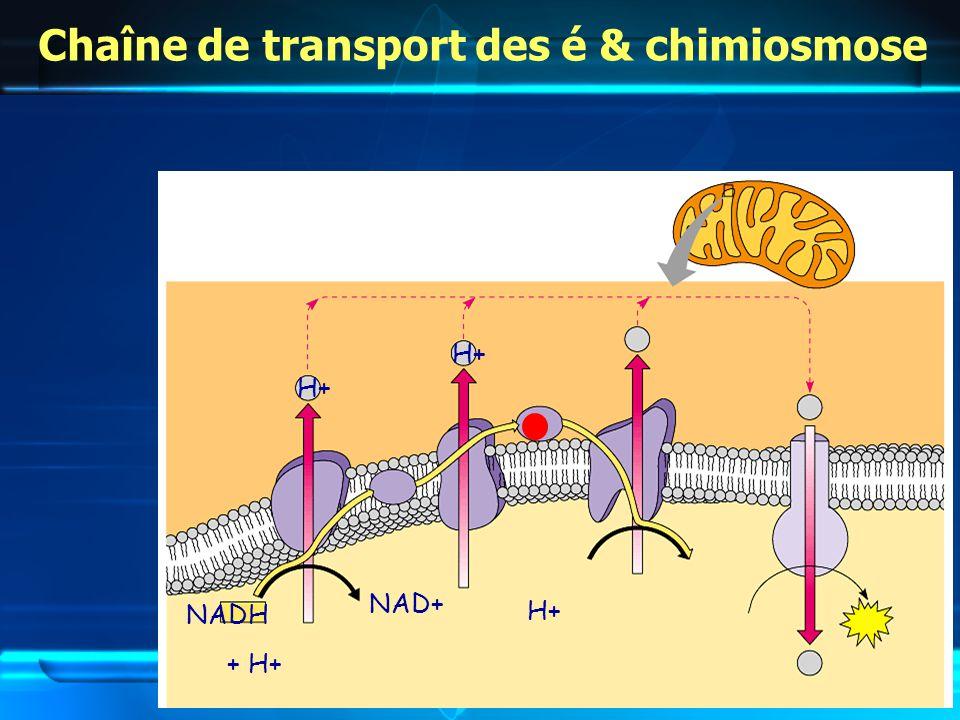 Chaîne de transport des é & chimiosmose NADH + H+ NAD+ H+