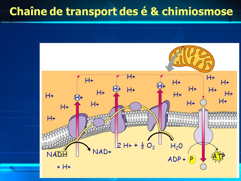 Chaîne de transport des é & chimiosmose NADH + H+ NAD+ H+ 2 H+ + ½ O 2 H20H20 H+ ADP + P ATP