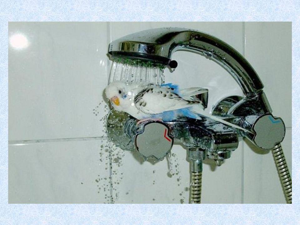 Une perruche sous la douche : Voir photo page suivante