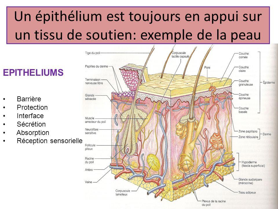 Un épithélium est toujours en appui sur un tissu de soutien: exemple de la peau EPITHELIUMS Barrière Protection Interface Sécrétion Absorption Récepti