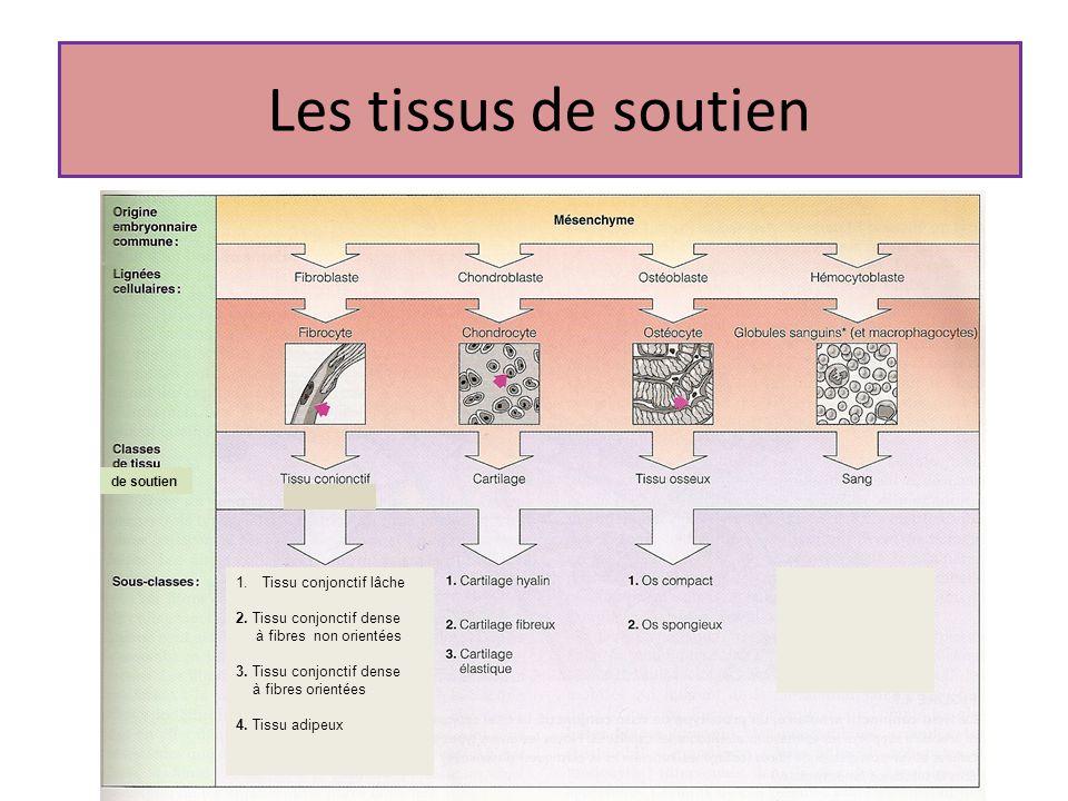 Les tissus de soutien de soutien 1.Tissu conjonctif lâche 2. Tissu conjonctif dense à fibres non orientées 3. Tissu conjonctif dense à fibres orientée